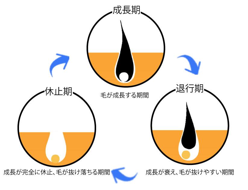 毛周期の説明画像です。上側を頂点にした三角形型に円で描かれた毛の状態が描かれてます。頂点は「成長期」で毛根からしっかり毛が生えている図です。時計回りに右下に向けて矢印が描かれていて、右下の円は「退行期」で毛根から毛が抜けようとしている図が描かれてます。左時計回りに矢印が描かれていて、左下の円は「休止期」。毛根のみで毛は生えていない図が描かれてます。